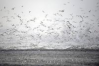 Seagulls (Larus canus), Lofoten, Norway,