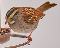 White-throated Sparrow (Zonotrichia albicollis). Image taken with a Fuji X-H1 camera and 100-400 mm OIS lens.