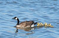 Canada Goose, Branta canadensis, with goslings on Lake Ewauna, Oregon