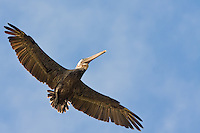 A brown pelican soars above enroute to landing in a tree on the beach.