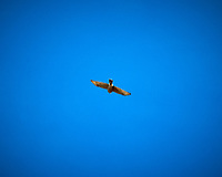 Sharp-shinned Hawk soaring over Hovenweep National Monument. Image taken with a Nikon D300 camera and 80-400 mm VR lens (ISO 200, 400 mm, f/11, 1/400 sec).