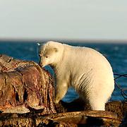 Polar Bear(Ursus maritimus) feeding on carcass of a bowhead whale.(Balaena mysticetus) Alaska.
