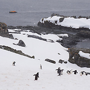 Chinstrap penguins make their way down to the waters edge on Half Moon Island Antarctica.