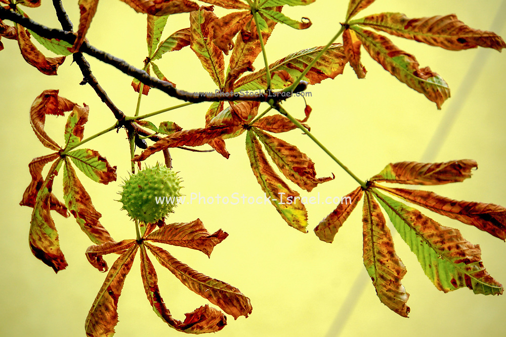 Close up of the Platanus Tree (Plane Tree) with autumn color leafs. Photographed in Bulgaria in October