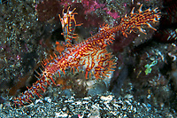 Male Ornate Ghostpipefish, carrying fertilized eggs in its abdominal pouch<br /> <br /> Shot in Indonesia