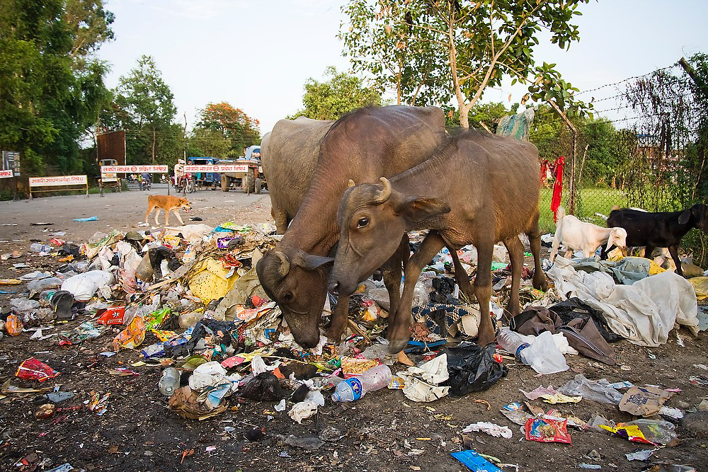 Asian water buffalo (Bubalus bubalis), goats and a dog scavenge for food in a garbage pile in the streets of Bharatpur, a city in the Terai, Nepal.