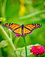 Monarch Butterfly on a Zinnia Flower. Image taken with a Fuji X-T2 camera and 100-400 mm OIS lens