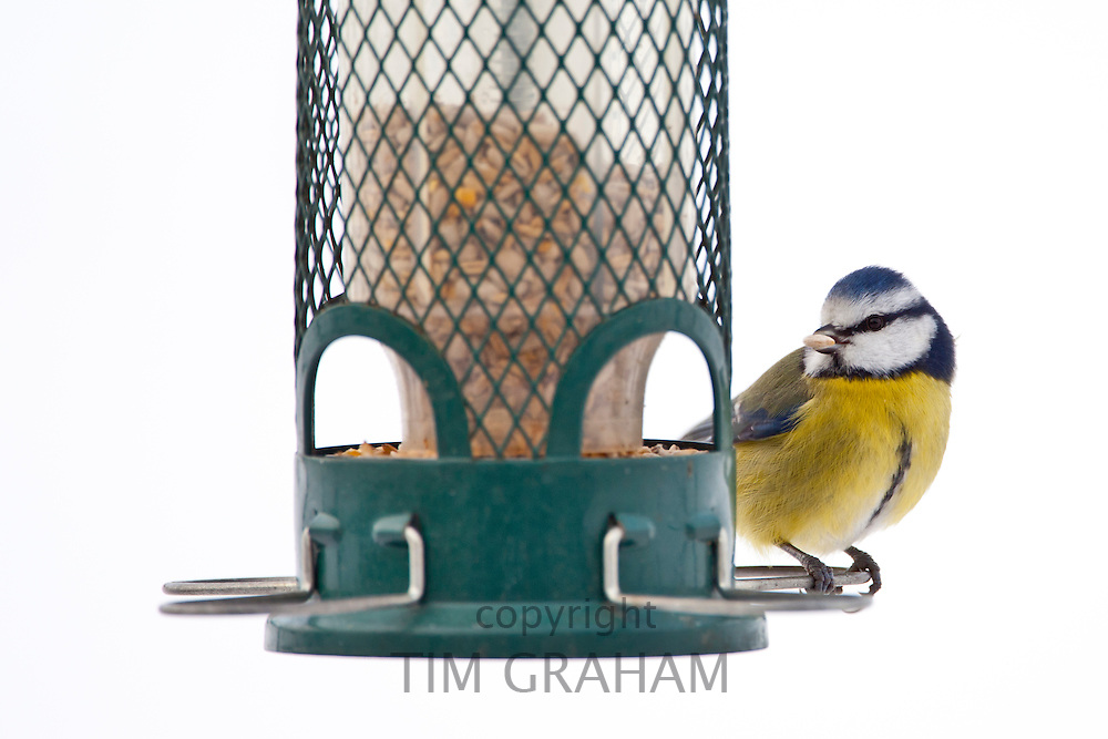 Blue tit feeds on sunflower seed from bird feeder by snowy slope, The Cotswolds, UK