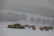 Sheep in a snowy field gather around their feeding stations in Stow on 14th of January 2021, Scottish Borders, United Kingdom. The snow has been falling all night and the sheep are knee high in snow. During winter time, when the ground is covered with snow the sheep rely on fodder provided by farmer Stewart Runciman. The field is above the village Stow, near Galashields, and the snow is the first of the winter.