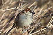 House Sparrow | Gråspurv