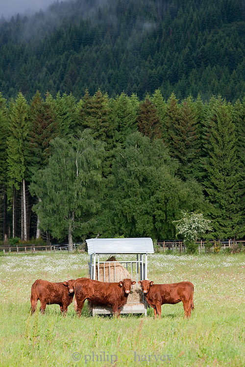 Cows in the Chaîne des Puys, a chain of extinct volcanoes near Clermont-Ferrand, France