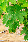 A merlot leaf  Chateau Bouscaut Cru Classe Cadaujac  Graves Pessac Leognan  Bordeaux Gironde Aquitaine France