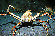 giant Japanese spider crab, <br /> Macrocheira kaempferi (c)<br /> deep sea crab, the largest in the world, <br /> endemic to Japan