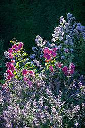 Rosa 'Princess Alexandra of Kent' syn. 'Ausmerchant' growing with catmint and campanula in a border