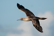 The Booby turned in the air allowing us to marvel at its wingspan and grace in flight.