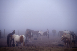cowboy walking through a group of horses in the early morning fog