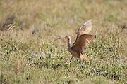 Long-billed curlew on breeding range in Wyoming