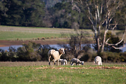 A ewe with triplets on a farm near Blackwood Creek in Tasmania's northern midlands.