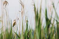 Great reed warbler (Acrocephalus arundinaceus) and common reeds (Phragmites australis). Hutovo Blato Nature Park. Bosnia-Herzegovina.<br /> Elio della Ferrera / Wild Wonders of Europe