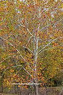 63876-02805 Fall color Sycamore trees at Pyramid State Park Perry Co. IL