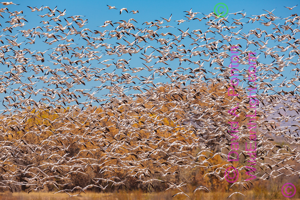 Very large flock of snow geese flying up from a field with autumn cottonwoods in the background, New Mexico, © David A. Ponton
