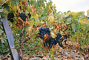 A series of images about port wine production in Portugal c 1960 - detail of grapes hanging from vines