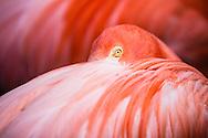 Close up of a Caribbean Flamingo looking at the camera.