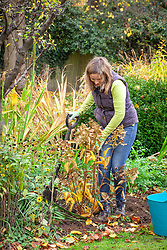 Moving a shrub - hydrangea. Re-planting in a new place in a border and firming in.