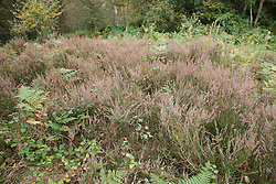 Bestwood Country Park, Nottingham, part of Sherwood Forest, an example of a conservation project - heather scrapes where the topsoil is removed and heather planted in order to produce heathland, a different habitat typical of the original forest. Removing the topsoil enables the heather to compete better against other plants species. This area was planted six years previously...