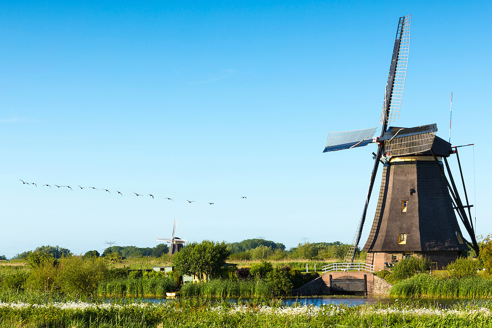 Flock of Canada Geese in flight past windmills at Kinderdijk UNESCO World Heritage Site, polder and dyke, Holland
