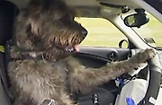 And they're ruff... Now the driving dogs have been let loose on the racetrack (and show they really CAN drive a car)<br /> <br /> For the four-legged competitors, two months of hard work – and a fair few treats – ensured they were raring to get on the racetrack.<br /> So when the big day rolled around, the only ones likely to get hot under the collar were any bystanders who spotted a Mini hurtling towards them with a dog at the wheel.<br /> Two mutts made history yesterday by driving a car down a racetrack. Ten-month-old beardie cross Porter put his paws to the pedals first, steering the Mini down the straight and then turning a corner.<br /> He was followed by Monty, an 18-month-old giant schnauzer cross, who completed the same feat.<br /> In just eight weeks, they progressed to driving a real car – a modified Mini in which they sat on their haunches in the driver's seat.<br /> Their front paws were on the steering wheel, while their back paws were on levers attached to the accelerator and the brake.<br /> <br /> <br /> After successfully manoeuvring the car around a lab, the leading two were challenged to a racetrack test-drive which was broadcast live online.<br /> They were strapped in with seatbelts and then followed commands from their trainers, who walked in front of the car.<br /> The dogs were all rescued by the Society for the Prevention of Cruelty to Animals in Auckland, New Zealand. The charity came up with the idea to train them to drive to prove how intelligent they were.<br /> Animal trainer Mark Vette, who schooled the dogs, said: 'They are great dogs, each with their own distinct personality.<br /> ©spca/Exclusivepix