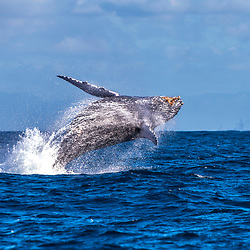 Baleia-jubarte (Megaptera novaeangliae) fotografado em Vitória, Espírito Santo -  Sudeste do Brasil. Oceano Atlântico. Registro feito em 2017.<br /> <br /> <br /> ENGLISH: Humpback Whale photographed in Vitória, Espírito Santo - Southeast of Brazil. Atlantic Ocean. Picture made in 2017.