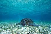 green sea turtle, Chelonia mydas, feeding on seagrass, Sipadan, Sabah, Borneo, Malaysia ( Celebes Sea )