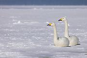 Whooper swan, Cygnus cygnus, pair sitting on frozen lake, Kussharo-ko, Hokkaido Island, Japan, japanese, Asian, wilderness, wild, untamed, ornithology, snow, graceful, majestic, aquatic, .