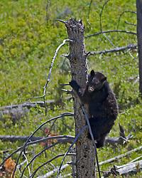 Black Bear climbing tree in Yellowstone National Park
