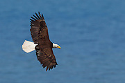 An adult bald eagle (Haliaeetus leucocephalus) soars over Hood Canal near Seabeck, Washington, in search of food. Dozens of bald eagles flock to the area near Big Beef Creek each June to feast on midshipman fish that get trapped in oyster beds at low tide.