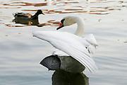 Czech Republic, Prague A white swan in the lake