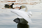 Czech Republic, Prague A white swan in the lake