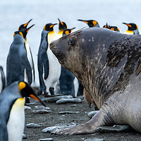 A southern elephant seal amidst king penguins in a massive breeding colony at Gold Harbour on South Georgia Island.