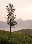 Dawn at the tea plantations in Munnar, a hill station in Kerala, India