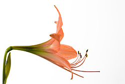 Amaryllis belladonna#8