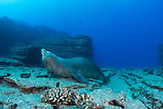 territorial male Hawaiian monk seal, Neomonachus schauinslandi ( critically endangered endemic species ) bellowing or growling to advertise territory at Vertical Awareness dive site, Lehua Rock, near Niihau, off Kauai, Hawaii ( Pacific Ocean )