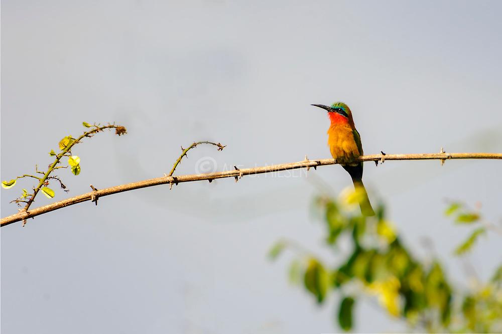 Red-throated Bee-eater (Merops bulocki) from Murchison, Uganda.