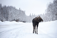 A young moose stands on the Talkeetna Road, eyeing some willows that it wants to eat.