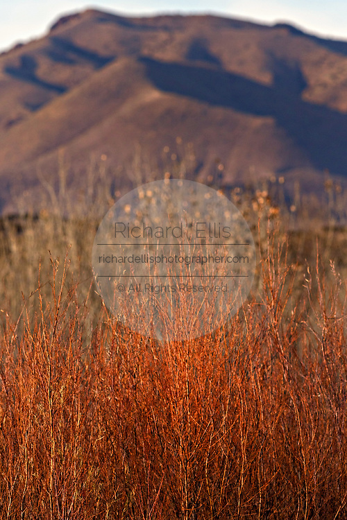 Muted colors of dried bulrush, cottonwood and coyote willow thickets with the Chupadera Mountains during winter at the Bosque del Apache National Wildlife Refuge in San Antonio, New Mexico. The refuge restored the original Rio Grande bottomlands habitat with native species.