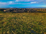 Mountain avens (Dryas integrifolia) flowers in bloom on tundra by Hudson Bay Mountain avens (Dryas integrifolia) flowers in Hudson Bay Lowlands<br />Churchill<br />Manitoba<br />Canada