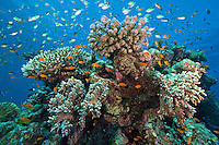 Hard and Soft Corals, Damsels, and Anthias