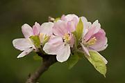 Cherry Tree Blossom, Prunus serrulata, Monkton Nature Reserve, Kent, UK, ornamental tree growing wild