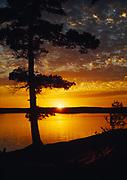 Sunset silhouetting white pine, Nym Lake, Quetico Provinicial Park, Ontario, Canada.