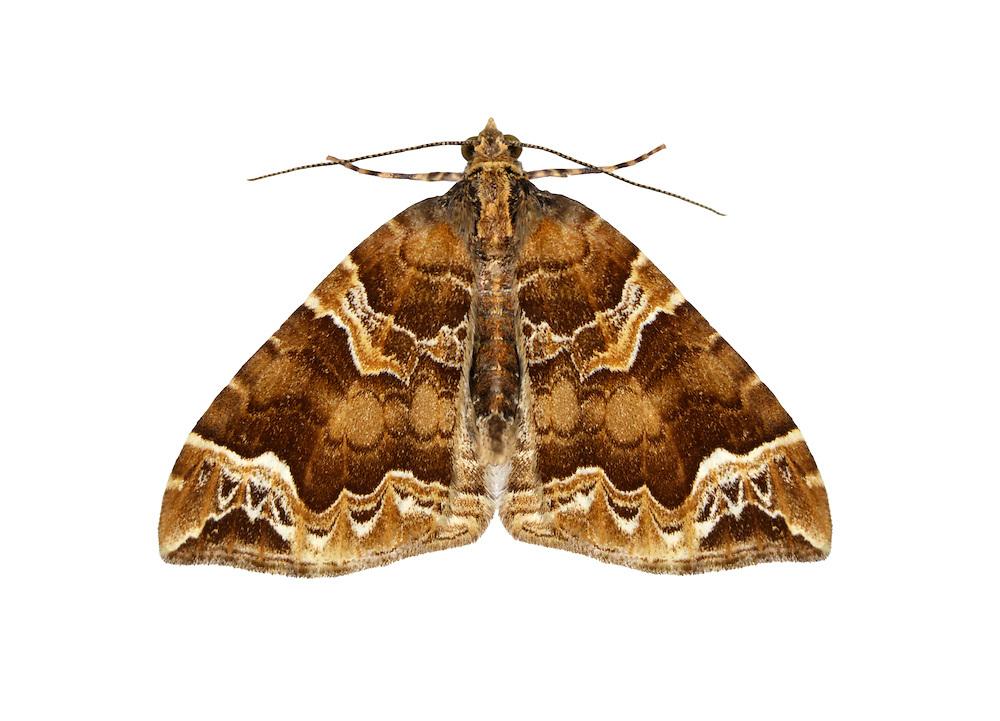 70.089 (1754)<br /> Phoenix - Eulithis prunata
